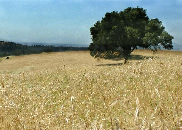 Field of Yellow Grass with a Lone Tree in the Middle and More Trees in the Distance